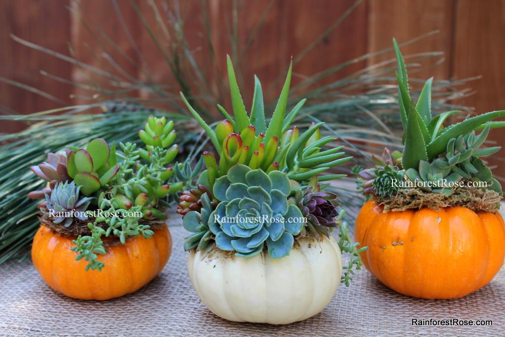 Halloween Succulent Pumpkin Real Pumpkin Orange Or White Color