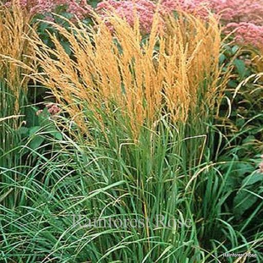 Calamagrostis karl foerster 21 grasses product usa 2001 for Perennial ornamental grasses